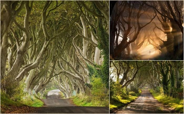 Темные, живые изгороди, Северная Ирландия – это длинные, красивые аллеи Буковых деревьев, кото