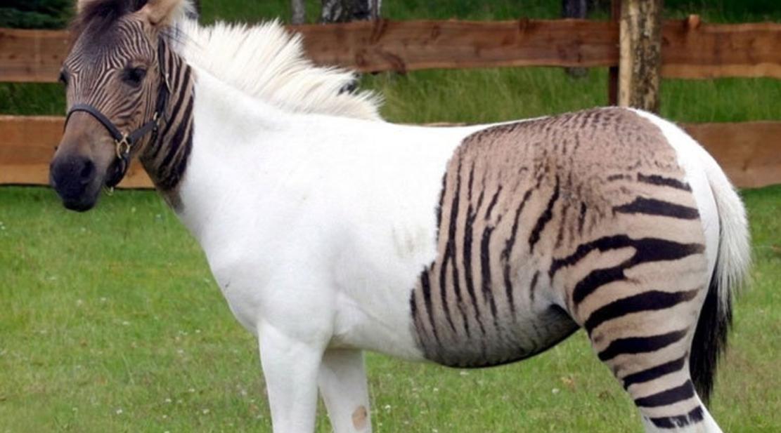 Так выглядит плод любви лошади и зебры.