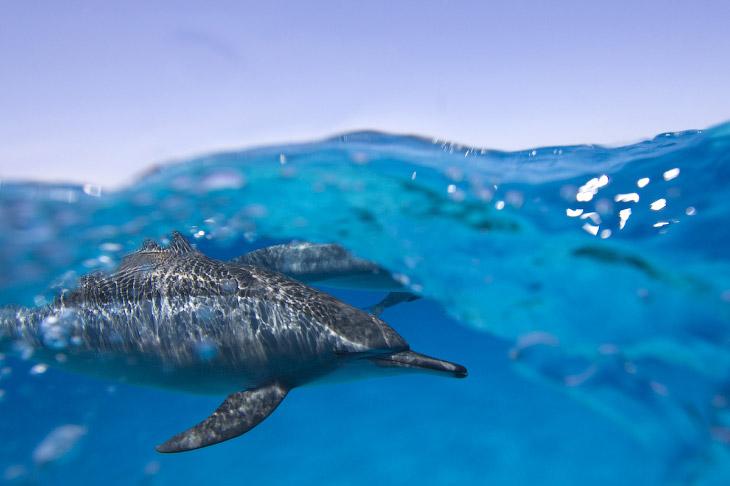 2. Акулы в основном нападают на серферов, потому что они похожи на тюленей.  Бычья акула:
