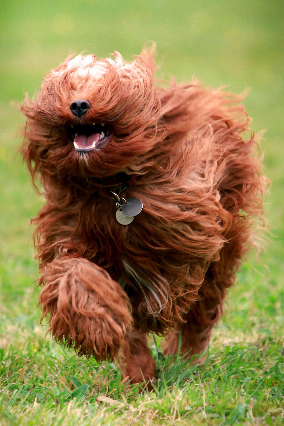 8. Бегущий мопс. Маленькая декоративная собачка, которую издавна держала знать. (Фото Nick Ridl