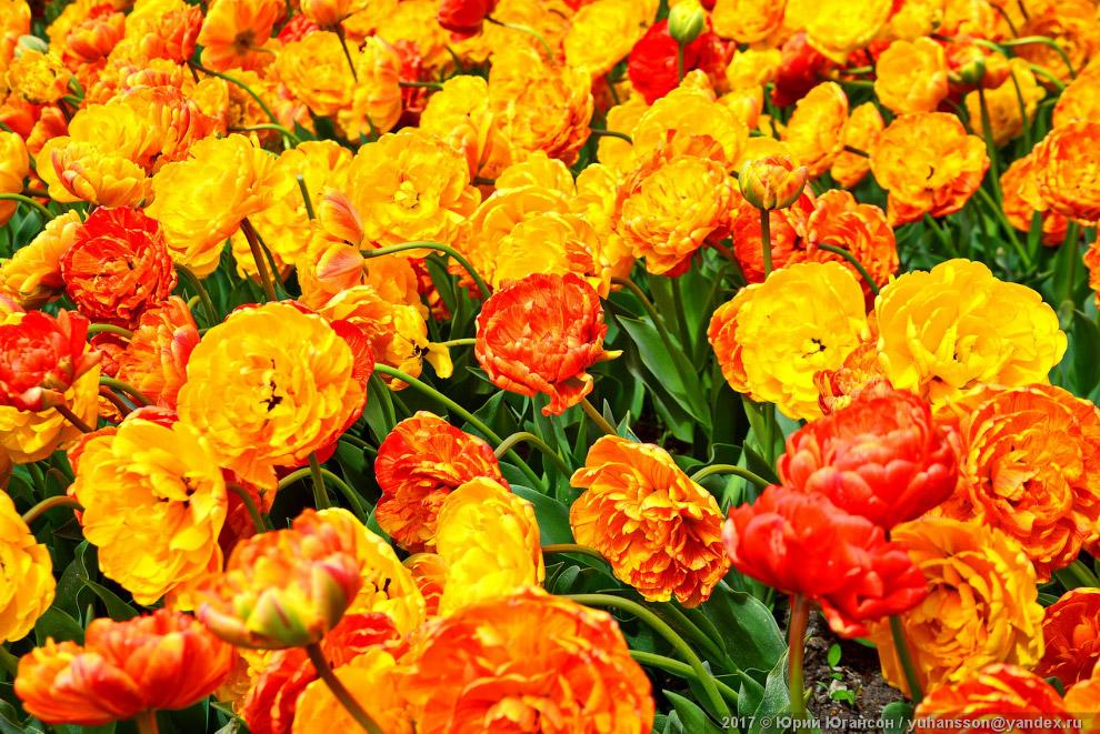9. Название тюльпан европейских языков восходит к заимствованному из турецкого языка слова тюрб