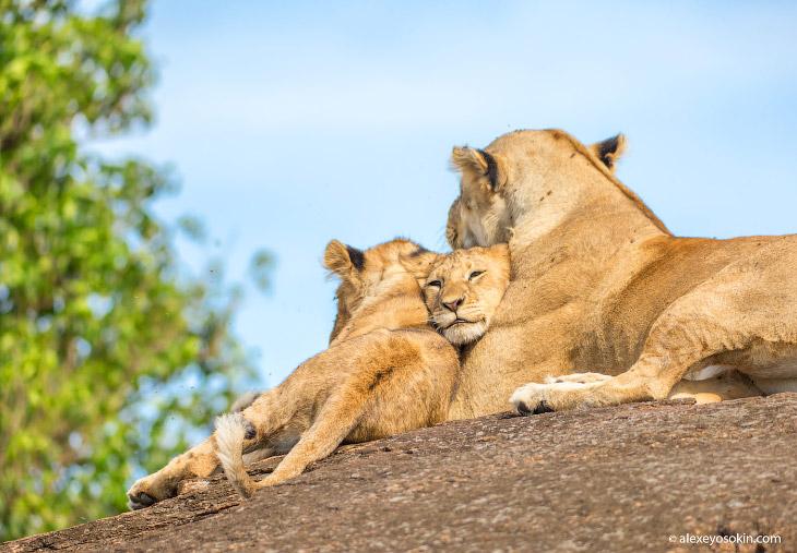2. Сегодня в объектив моей камеры снова попали мать и два милых мальчика из самого большого львиного