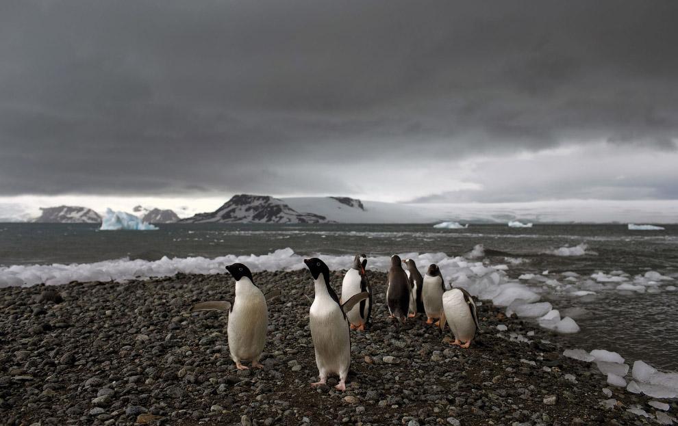 11. Площадь Антарктиды — около 14 млн кв.км. Почти весь континент покрыт льдом. Местами его тол