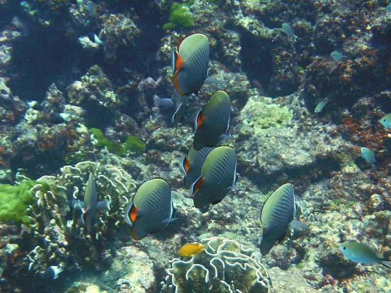 стайка тропических рыб - пакистанских бабочек (Chaetodon collare) с круглым телом, красным хвостом и яркими белыми полосками на морде
