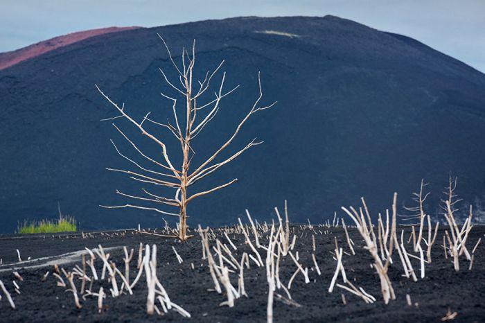 Сухие растения на фоне склона вулкана, извержение которого стало причиной их гибели.