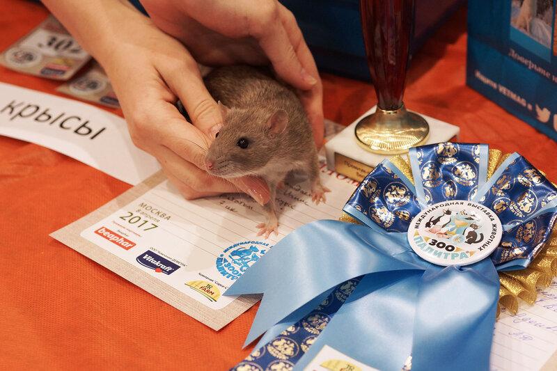 Лучшая крыса выставки