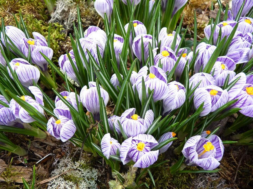 крокусы, солдатики весны,куда ни глянь - направо и налево...