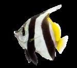 Side view of a Pennant Coralfish, Heniochus acuminatus, isolated
