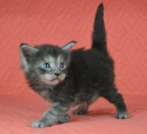 Котята мейн-куны из помета H-2017