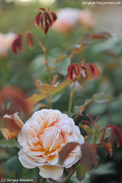 Rosa Lady Emma Hamilton  (1).JPG