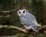 white_faced_shovel_owl_bird_eye_predator_97829_1280x1024.jpg