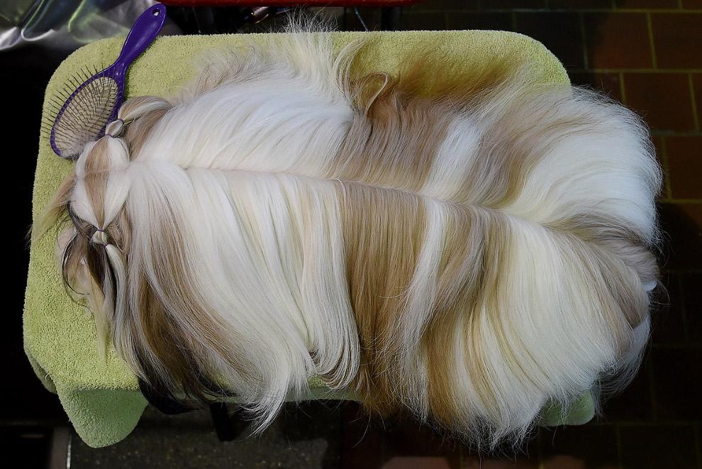 7. Бишон фризе. Это французская маленькая порода собак из группы бишонов (болонок). B переводе