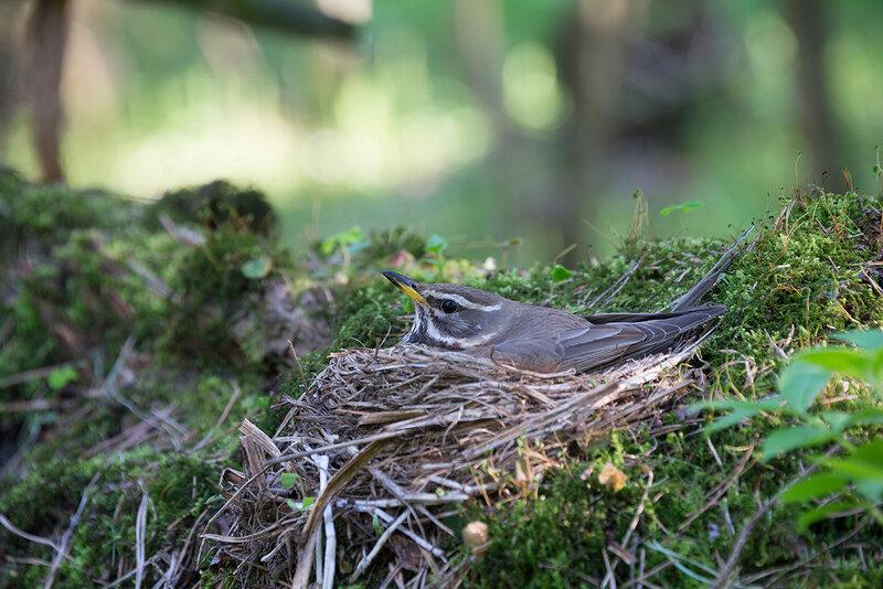 Гнездо дрозда-белобровика (Turdus iliacus) Автор фото: Владимир Брюхов