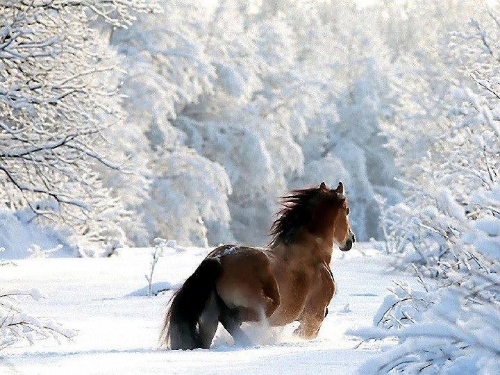 99px_ru_photo_77335_loshad_v_snegu_pered_belosnejnim_lesom.jpg