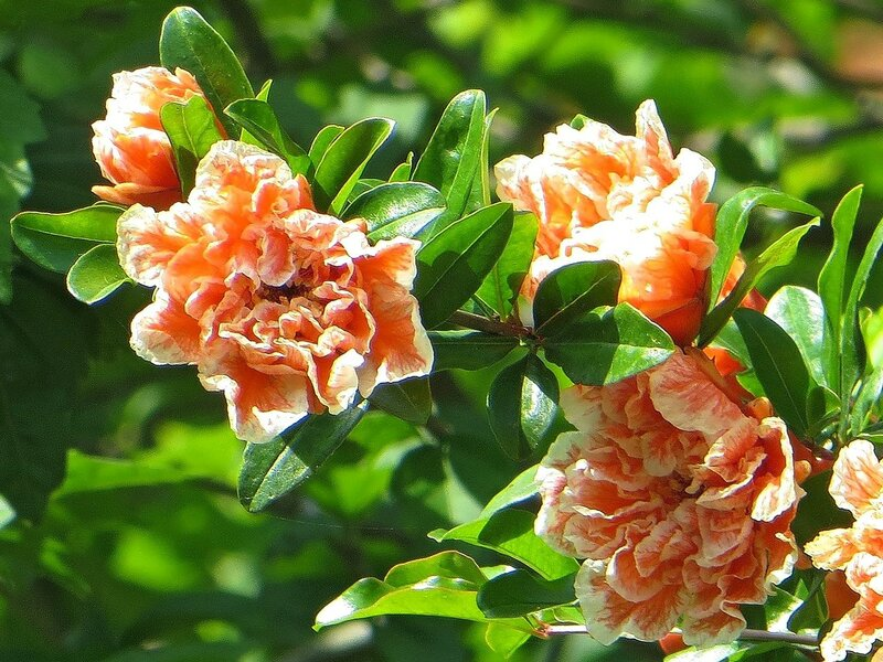Махровые цветы граната