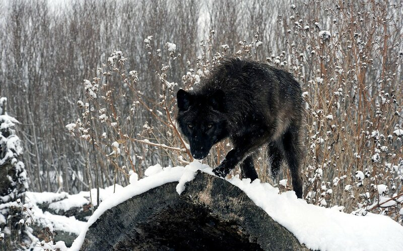 black-wolf[1].jpg