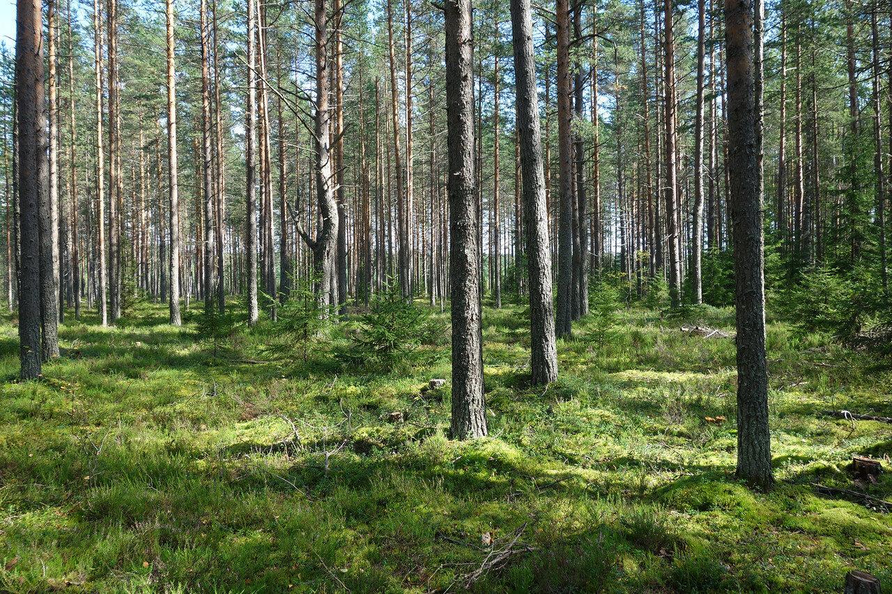 тут лес похож на подмосковный