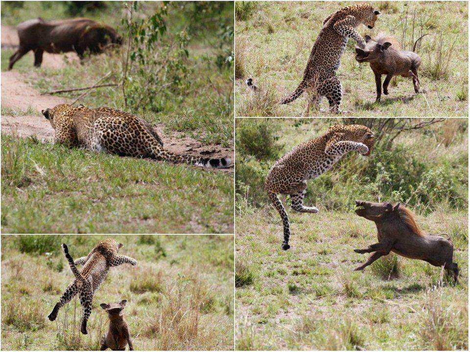 Невероятный прыжок леопарда во время охоты на бородавочника