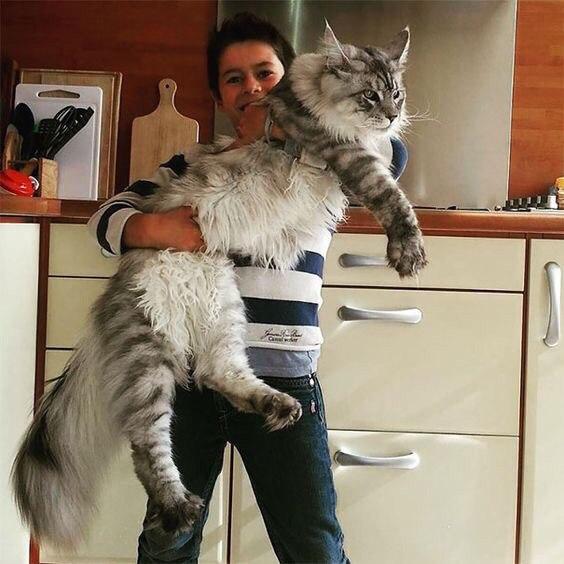 кошки-кошки-мейн-кун-3.jpg