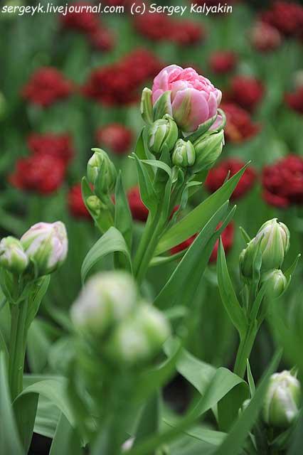Tulipa Bastion.JPG