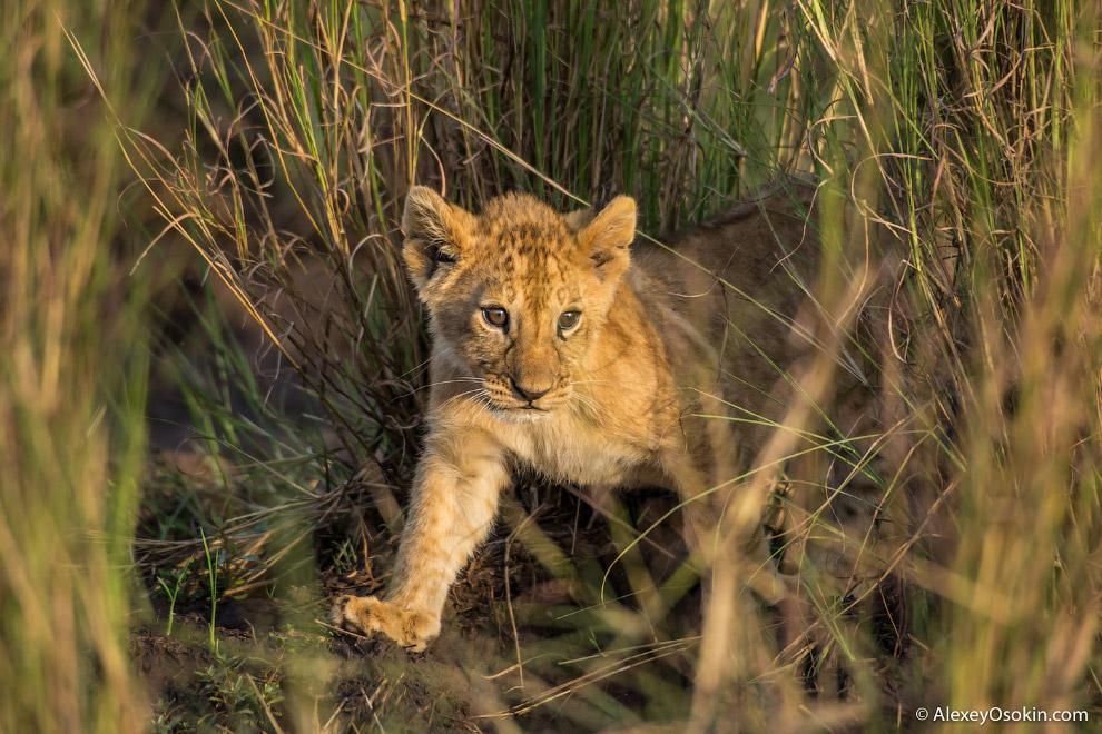 18. Львы едят много, за один раз лев может съесть до 30 кг мяса.