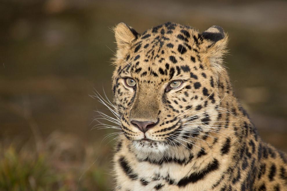 По размерам, среди леопардов он средний. является самым северным подвидом леопарда. В связи с э