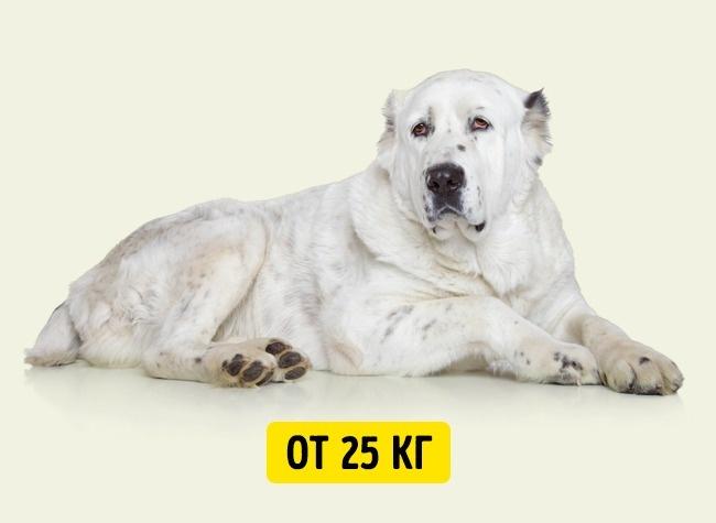 © depositphotos.com  Ксожалению, большие итяжелые собаки, такие как доги или сенбернары, жив