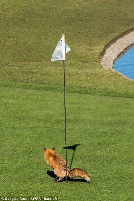 Очень дерзкая лиса оскверняет поле для гольфа, Калифорния.