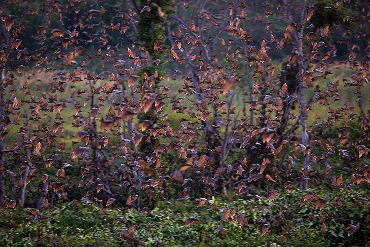 Все летучие мыши, распространенные в умеренных широтах, питаются насекомыми, но зимой этот вид