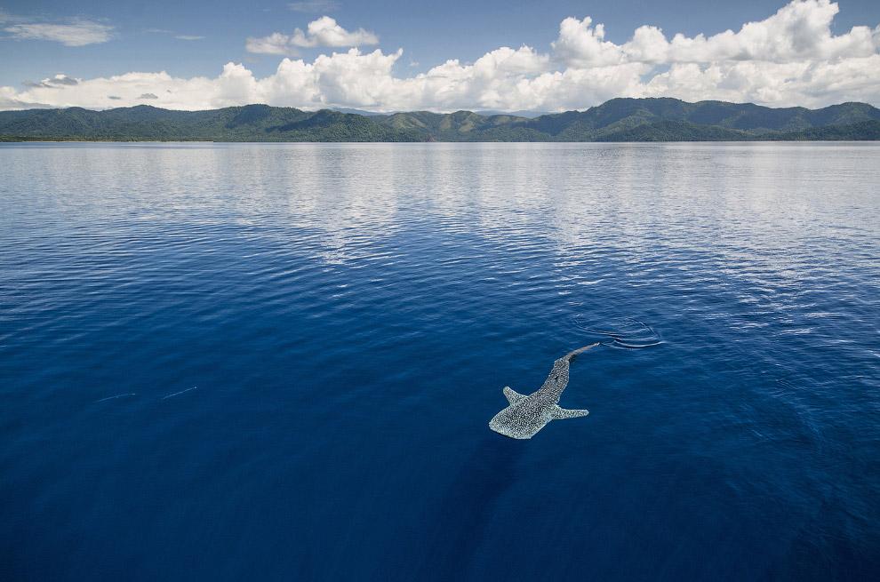 6. Спутники китовых акул — золотые каранги. Это не крошечные рыбки, это акула большая. Золотой