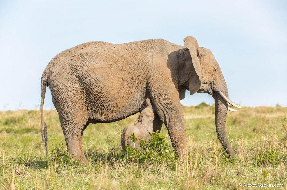 Обоняние у слонов развито особенно хорошо — ноздри, расположенные на конце хобота, способны ула