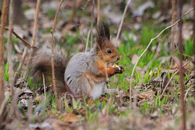 Белочка грызёт жёлудь - Чем питаются белочки ранней весной