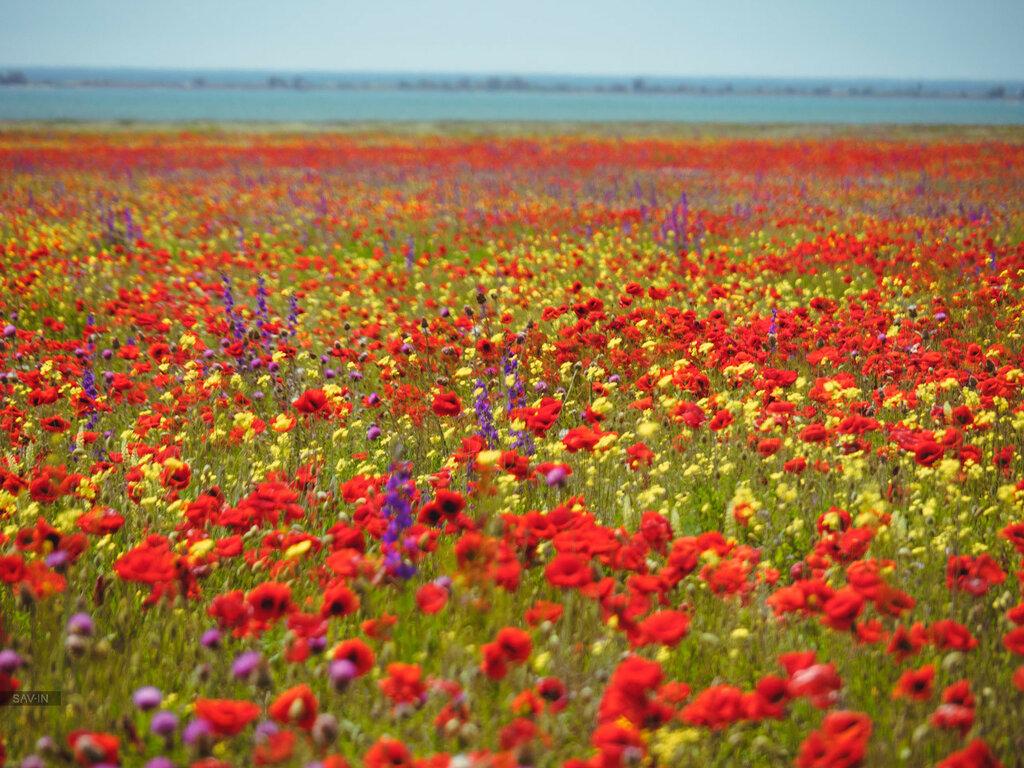 Разметались в поле шёлка лоскутки. Выросли на воле алые цветки.