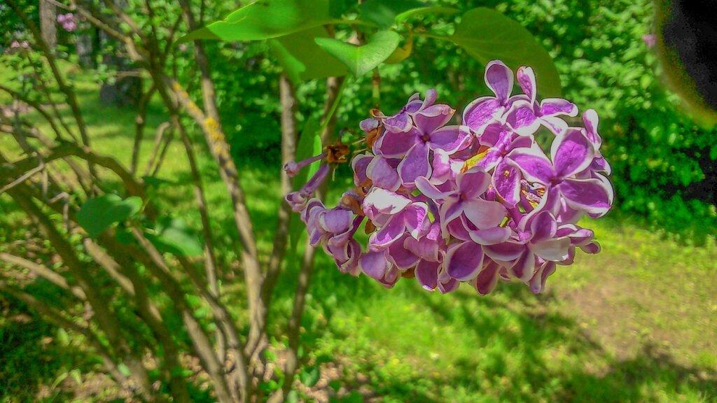 Сиреневый сад-3.jpg