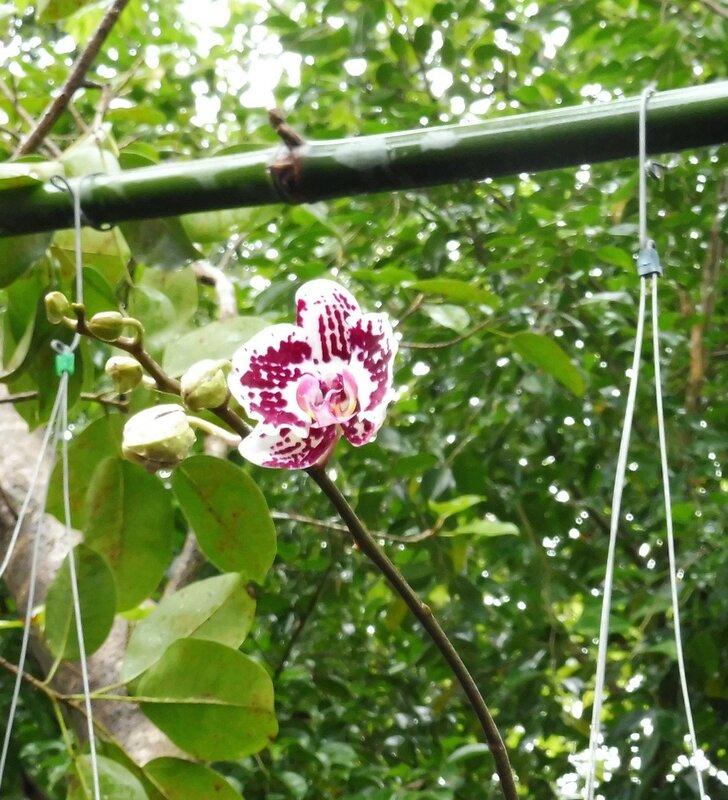 Орхидея Leopard Prince