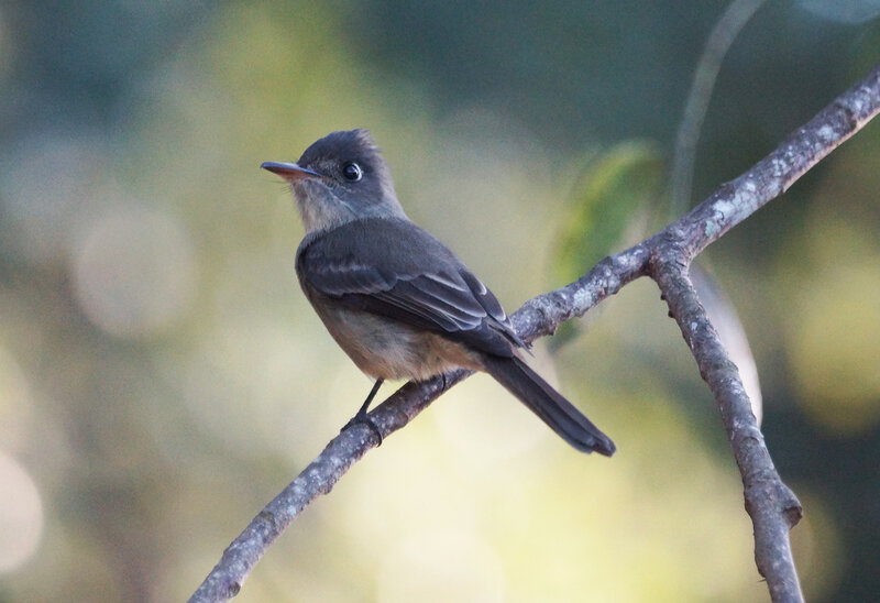 The Cuban pewee or crescent-eyed pewee (Contopus caribaeus) - Пиви (Тиранновые)