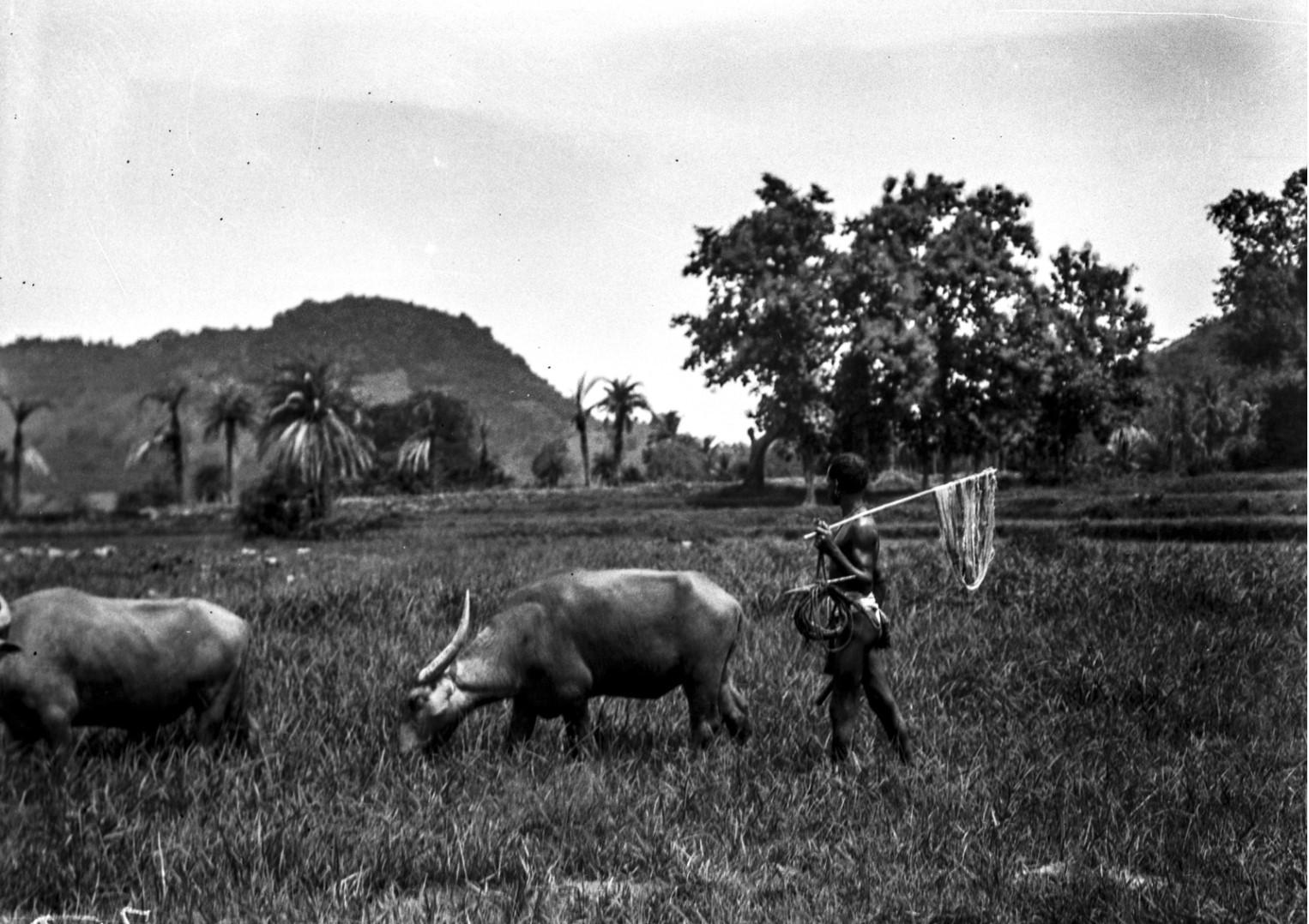 795. Орисса. Пастух с буйволом