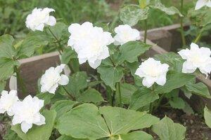 Редкие растения в наших садах - Страница 7 0_16e0cd_1e03ee67_M