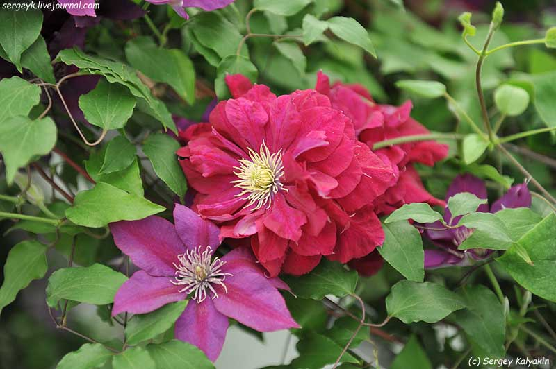 Clematis Charmaine (3).jpg