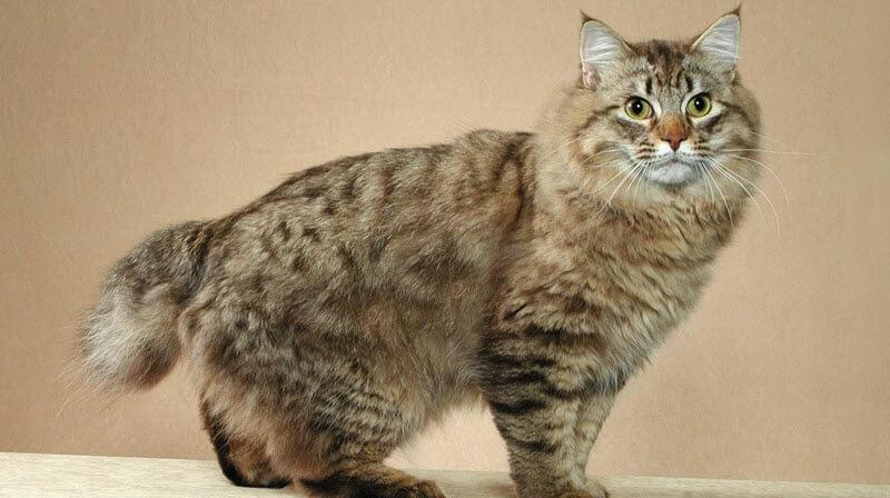 кошки фото американский бобтейл