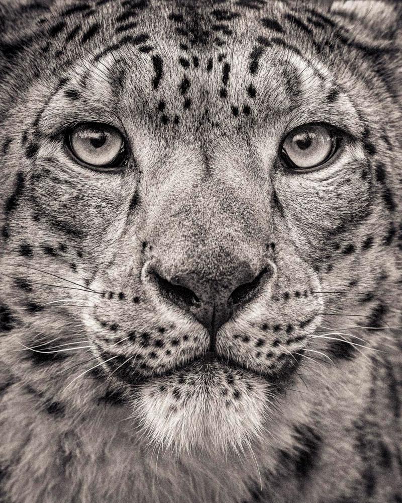 5. Африканский лев. Львы относятся к уязвимым видам вследствие необратимого сокращения численно
