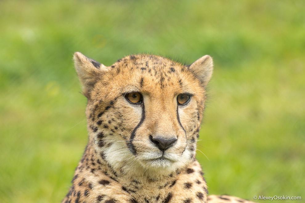 6. Около трети добычи у гепардов отнимают более крупные хищники, такие как львы, леопарды и гие
