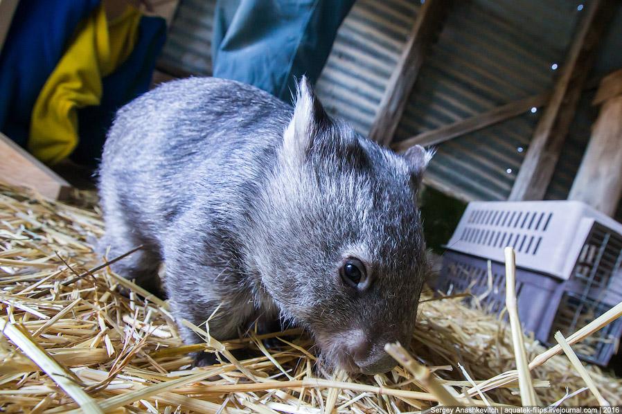 12. Это уже взрослый вомбат. Он живет в лесу, но иногда приходит подкормиться сухим кормом к Би