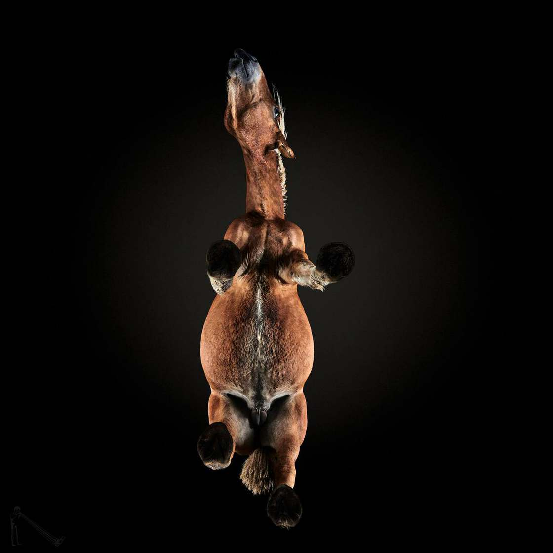 Under Horse - Photographing the underside of horses