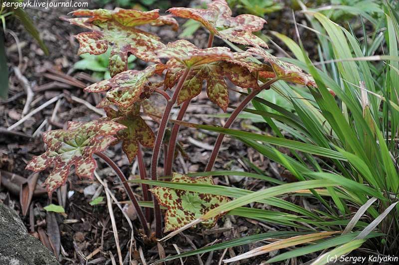 Podophyllum Spotty Dotty (2).JPG