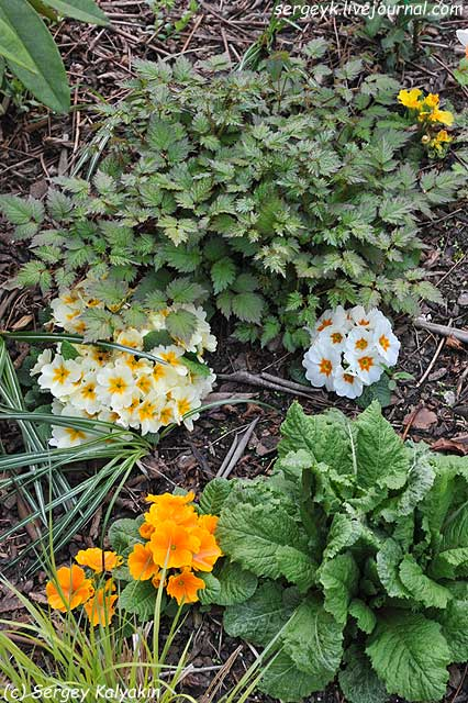 Primula and Astilbe.JPG