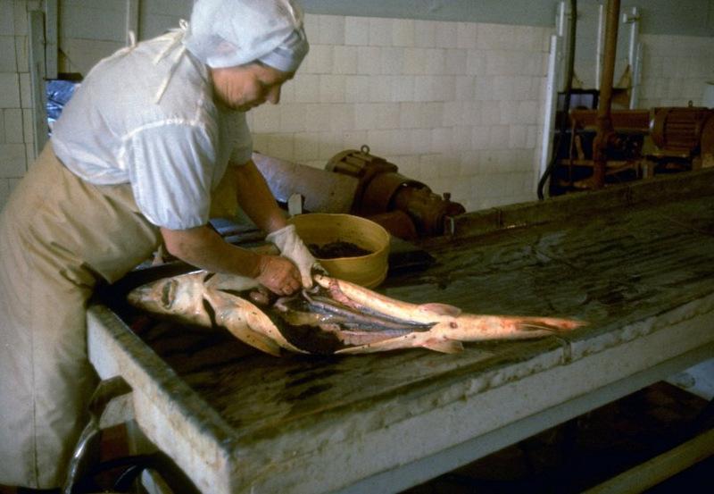 Работница комбината вспарывает брюхо осетра для извлечения икры. О том, есть ли в рыбе икра, известн