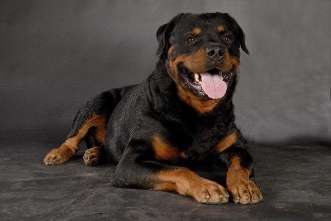Австралийская пастушья собака Эта порода славится своим умом, способностью понимать хозяина с полусл