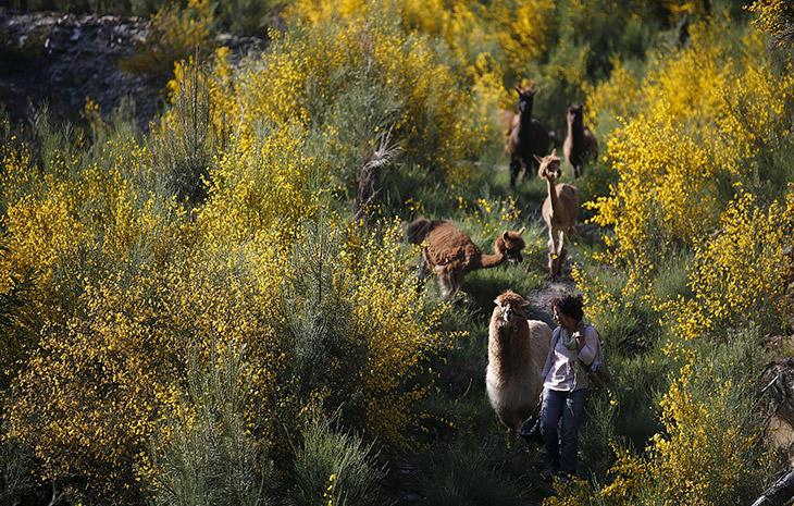2. На ферме царит полное взаимопонимание. Португалия 11 мая 2015. (Фото Rafael Marchante | Reuters):