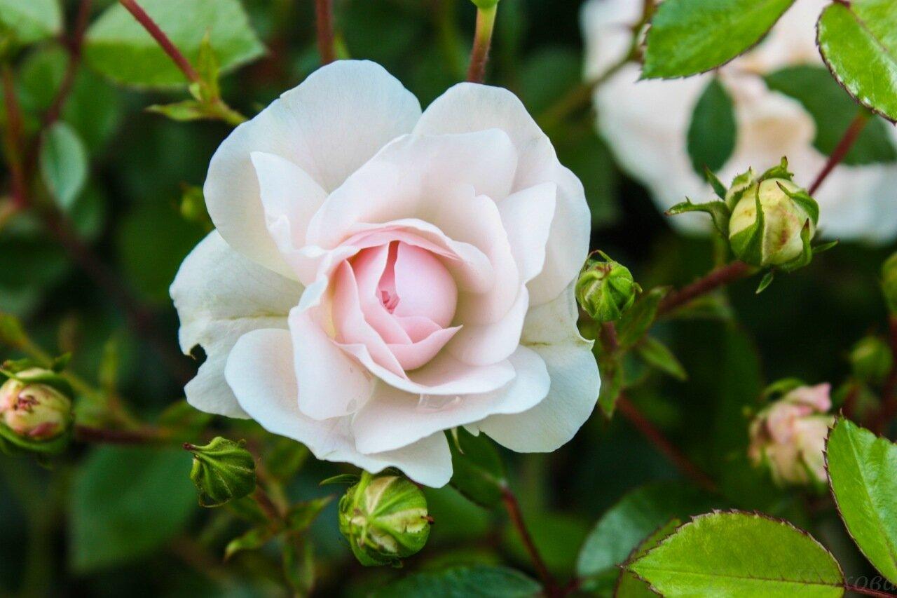 Розы-8.jpg